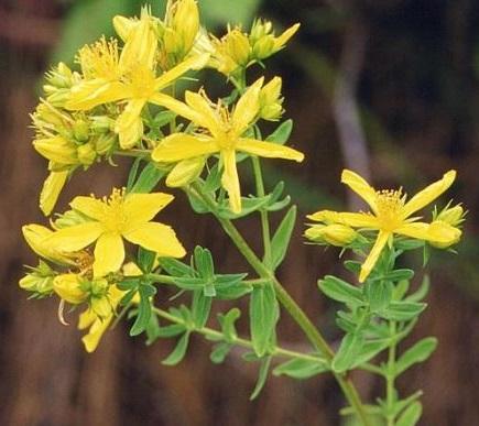 hierba de san juan como uno de los antidepresivos naturales mas populares