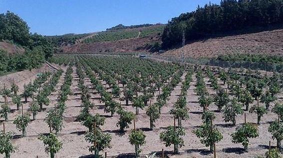 cultivo del aguacate para su produccion en masa