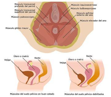 musculos y anillos del suelo pelvico