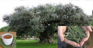 de donde provienen las hojas de olivo