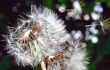 el polen es uno de los alergenos que provocan la tos alergica