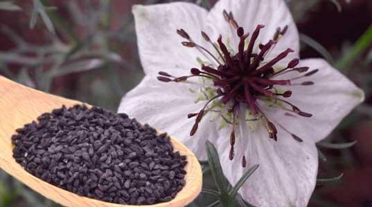 la nigella sativa reduce los niveles de potasio y sodio y ayuda en la miccion